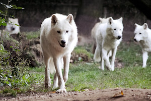 Lone wolf or a pack of wolves, we know what we need to do
