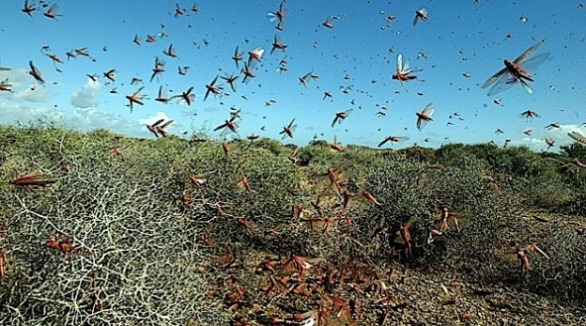 Israel Braces For Locust Invasion Ahead Of Passover
